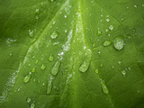 Close Up of Rain Drops on a Leaf Photographic Print by Jay Dickman