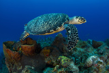 A Hawksbill Sea Turtle Swimming over a Reef Photographic Print by Jim Abernethy