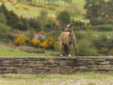 A Goat Stands on a Stone Wall Next to a Fence in County Kerry, Ireland Photographic Print by Jeff Mauritzen
