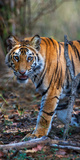 Bengal Tiger (Panthera Tigris Tigris), Bandhavgarh National Park, Umaria District Photographic Print by Green Light Collection