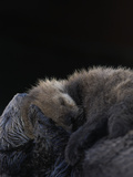 A Sea Otter Pup, Enhydra Lutris, Resting on its Mother's Stomach Photographic Print by Jeff Wildermuth