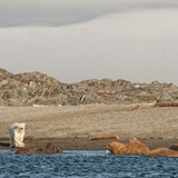 A Polar Bear Confronts Walruses on a Beach Photographic Print by Cesare Naldi