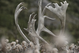 Antlers of a Male Woodland Caribou in a Field of Dryas Photographic Print by Peter Mather