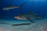 A Tiger Shark and Other Sharks and Fish Swimming Near the Sea Floor Photographic Print by Jim Abernethy