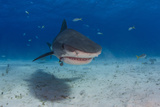 A Tiger Shark Swimming at the Sea Floor Photographic Print by Jim Abernethy