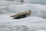 Portrait of a Seal and Pup Resting on an Ice Floe Photographic Print by Jeff Wildermuth