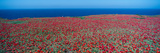 Iceplant and Coreopsis on Anacapa Island, Channel Islands, California Photographic Print by Panoramic Images