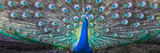 Dancing Peacock, India Photographic Print by Panoramic Images