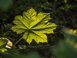 Close Up of a Devil's Club Leaf, Oplopanax Horridus, in Boreal Rainforest Photographic Print by Jay Dickman