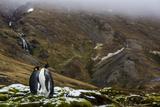 King Penguins, Aptenodytes Patagonicus, on South Georgia Island Photographic Print by Cristina Mittermeier