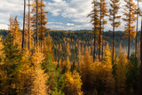 Larch Trees, Larix Laricina, in Autumn Color Photographic Print by Greg Winston