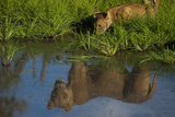 A Lion Cub Drinking, with a Lioness's Reflection in Water Photographic Print by Beverly Joubert