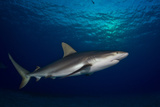Portrait of a Caribbean Reef Shark Swimming Photographic Print by Jim Abernethy