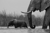 An African Elephant and a Calf Crossing a Spillway Photographic Print by Beverly Joubert