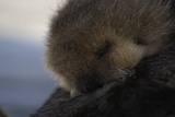 Close Up of a Sea Otter Pup, Enhydra Lutris, Nursing Photographic Print by Jeff Wildermuth