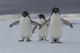 A Trio of Adelie Penguins, Pygoscelis Adeliae, on the Antarctic Peninsula Photographic Print by Cristina Mittermeier