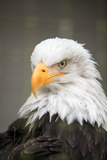 Portrait of an American Bald Eagle That Is Undergoing Rehabilitation at Sitka Photographic Print by Eric Kruszewski