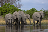 An African Elephant Herd Crossing a Spillway and Drinking the Water Photographic Print by Beverly Joubert