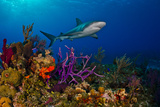 A Caribbean Reef Shark Swimming over a Colorful Reef Photographic Print by Jim Abernethy
