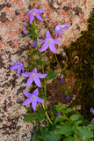 Tiny Vine with Purple Flowers Climbing Up a Stone Wall Photographic Print by Darlyne Murawski