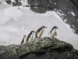 A Trio of Chinstrap Penguins and Single Macaroni Penguin on a Rock Outcrop Photographic Print by Jay Dickman