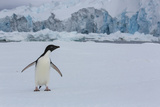An Adelie Penguin, Pygoscelis Adeliae, in the South Shetland Islands Photographic Print by Cristina Mittermeier