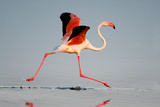 Greater Flamingo (Phoenicopterus Roseus) in a Lake, Ndutu, Ngorongoro Conservation Area, Tanzania Photographic Print by Green Light Collection