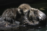 A Sea Otter, Enhydra Lutris, Grooming Her Pup Photographic Print by Jeff Wildermuth