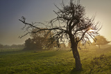A Gnarled Old Apple Tree in Misty Sunrise Light Photographic Print by Nigel Hicks