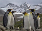 A Group of King Penguins in a Landscape of Snowy Mountains Photographic Print by Jay Dickman