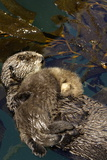 A Sea Otter Pup, Enhydra Lutris, Resting on its Mother's Stomach in a Kelp Bed Photographic Print by Jeff Wildermuth