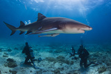 A Lemon Shark with Divers on a Reef Photographic Print by Jim Abernethy