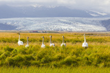 A Family of Whooper Swans in Tall Grass Near a Large Glacier on the South Coast of Iceland Papier Photo par Mike Theiss