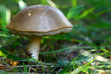 A Bolete Mushroom Growing on the Ground in a Forest Photographic Print by Darlyne Murawski