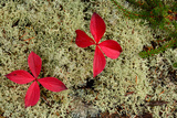 Ground Cover of Reindeer Moss and Red-Leaved Plants in Acadia National Park Photographic Print by Darlyne Murawski