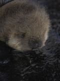 Close Up Portrait of a Sea Otter Pup, Enhydra Lutris, Nursing Photographic Print by Jeff Wildermuth