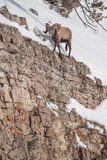 A Bighorn Sheep Walks on the Edge of a Steep Cliff Photographic Print by Tom Murphy