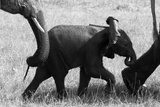 An African Elephant Calf Walking with its Herd Photographic Print by Beverly Joubert