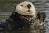 Portrait of a Sea Otter, Enhydra Lutris, Floating in Water Photographic Print by Jeff Wildermuth
