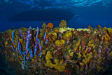 Colorful, Encrusting Sea Life Covering a the Sugar Wreck Ship Wreck Artificial Reef Photographic Print by Jim Abernethy