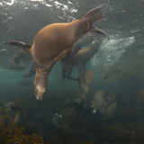 Sea Lions Swim in a Bed of Kelp Off Santa Barbara Island Photographic Print by Cesare Naldi