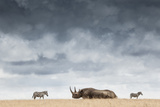A Black Rhinoceros in Solio Rhino Sanctuary Bookended by Two Plains Zebras Reproduction photographique par Robin Moore