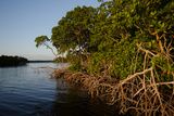Carlton Ward - Mangroves Near Oyster Bay, Everglades National Park, Florida Fotografická reprodukce