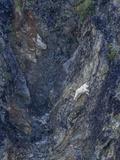 A Mountain Goat, Oreamnos Americanus, Climbing a Steep Mountain Side Photographic Print by Jay Dickman