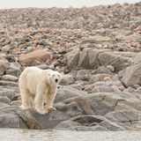 A Polar Bear Stands on Rocks at the Water's Edge Photographic Print by Cesare Naldi