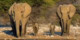 African Elephants (Loxodonta Africana) Family Standing at Waterhole, Etosha National Park, Namibia Fotografisk tryk af Green Light Collection