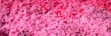 Pink Flowers, Channel Islands, California Photographic Print by Panoramic Images