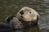 Portrait of a Sea Otter, Enhydra Lutris, Floating on its Back Photographic Print by Jeff Wildermuth