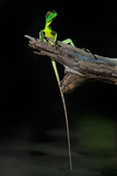 Plumed Basilisk (Basiliscus Plumifrons), Tortuguero, Costa Rica Reproduction photographique par Green Light Collection