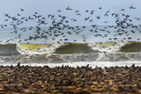 Cape Fur Seals (Arctocephalus Pusillus) Colony with Flock of Birds, Cape Cross, Namibia Photographic Print by Green Light Collection